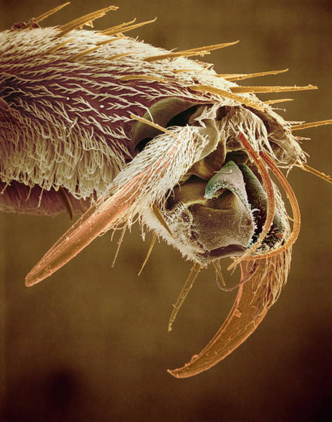 Clawed Photograph - Wasp Foot by Mike Mcnamee/science Photo Library