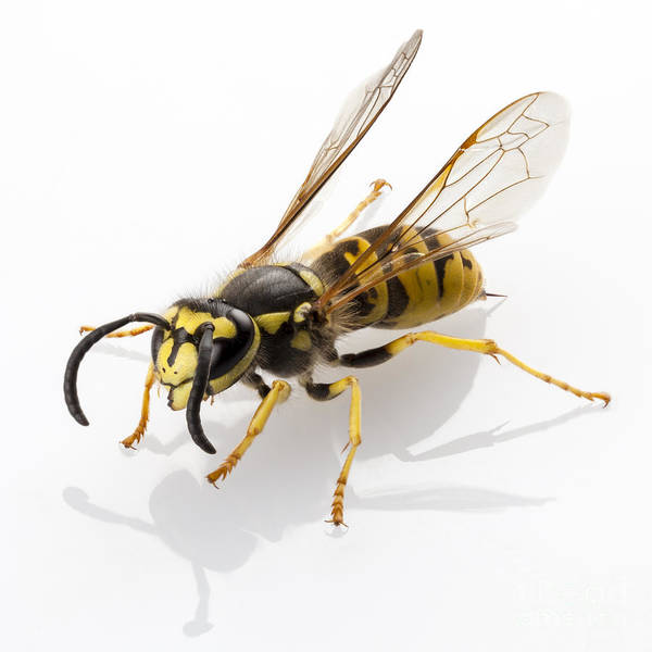 European Hornet Photograph - Wasp Isolated  by Pablo Romero