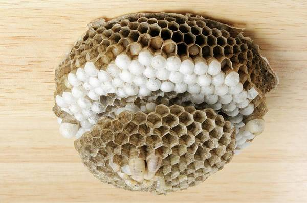 Wasp Photograph - Wasp Nest by Cordelia Molloy