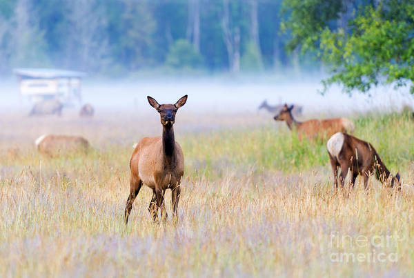 Elk Herd Photograph - Watchful by Mike Dawson