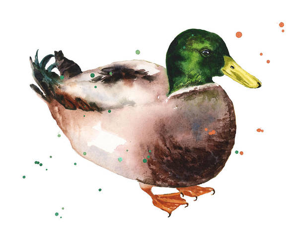 Wall Art - Painting - Watercolor Duck by Alison Fennell