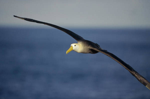 Waved Albatross Wall Art - Photograph - Waved Albatross Flying Galapagos Islands by Tui De Roy