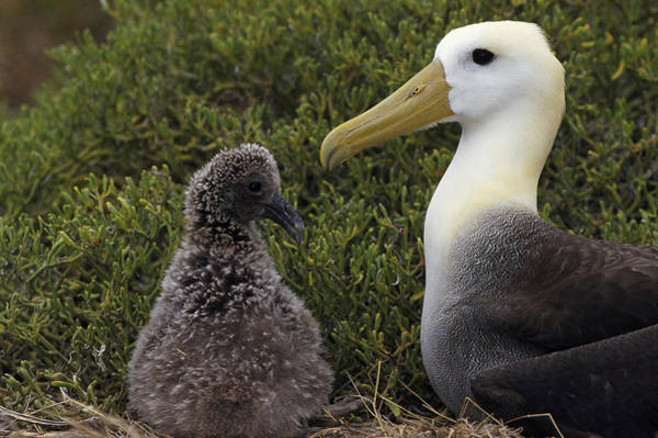 Waved Albatross Wall Art - Photograph - Waved Albatross Guarding Young Chick by Tui De Roy