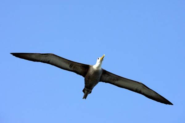 Waved Albatross Wall Art - Photograph - Waved Albatross In Flight by Steve Allen/science Photo Library