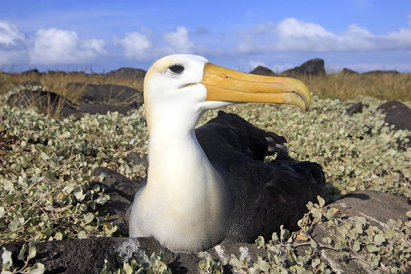 Waved Albatross Wall Art - Photograph - Waved Albatross by M. Watson