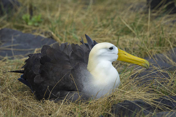 Waved Albatross Wall Art - Photograph - Waved Albatross On Nest by John Shaw