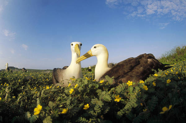 Waved Albatross Wall Art - Photograph - Waved Albatross Pair Bonding Galapagos by Tui De Roy