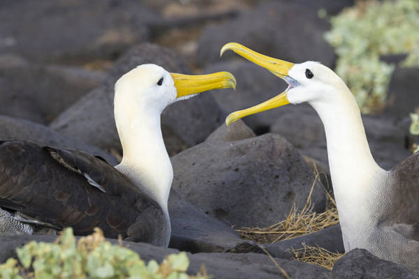 Waved Albatross Wall Art - Photograph - Waved Albatross Pair Bonding by John Shaw