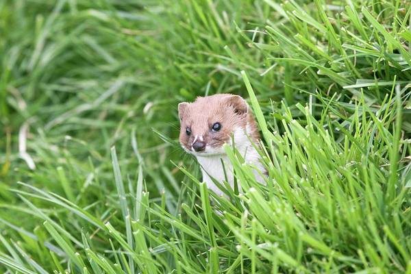 Weasel Wall Art - Photograph - Weasel by Gustoimages/science Photo Library