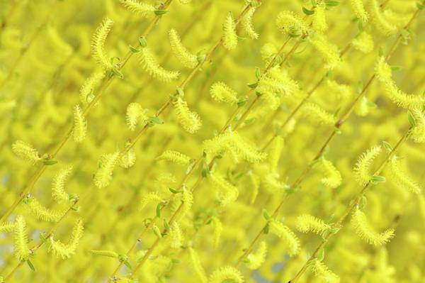 Weeping Willow Wall Art - Photograph - Weeping Willow (salix Babylonica) by Maria Mosolova/science Photo Library