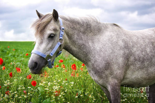Photograph - Welsh Pony by Angela Doelling AD DESIGN Photo and PhotoArt