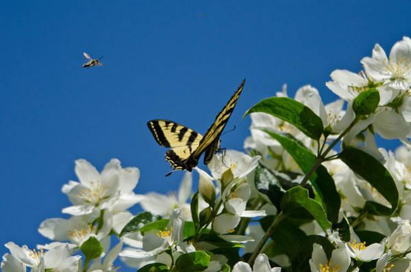Wall Art - Photograph - Western Tiger Swallowtail by Thomas And Pat Leeson