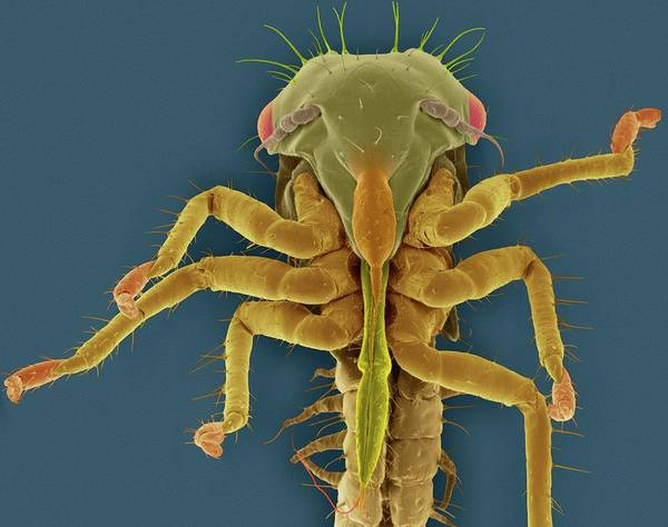 Pests Photograph - White Apple Leafhopper Nymph by Dennis Kunkel Microscopy/science Photo Library