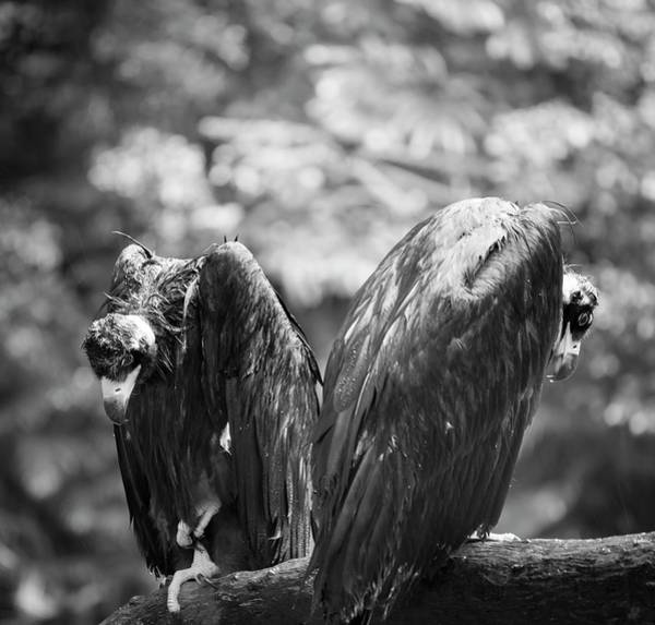Ornithological Photograph - White-backed Vultures In The Rain by Pan Xunbin