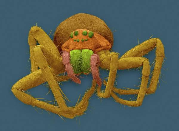 Raft Wall Art - Photograph - White-banded Fishing Spider by Dennis Kunkel Microscopy/science Photo Library