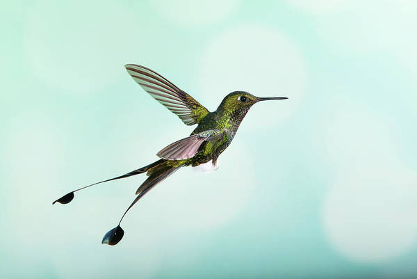 Wall Art - Photograph - White-booted Racket-tail Hummingbird by Nicolas Reusens/science Photo Library