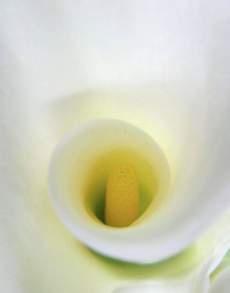 Anna Photograph - White Calla Lily Abstract by Anna Miller