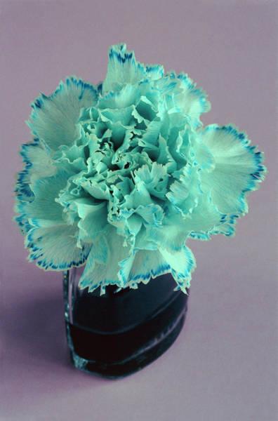 Capillary Wall Art - Photograph - White Carnation Flower And Dye Uptake by Adam Hart-davis/science Photo Library