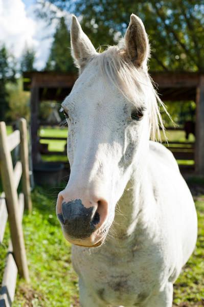 Andalusian Stallion Wall Art - Photograph - White Horse  by U Schade
