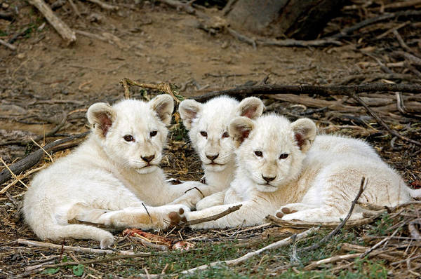 Wall Art - Photograph - White Lion Cubs by Tony Camacho/science Photo Library
