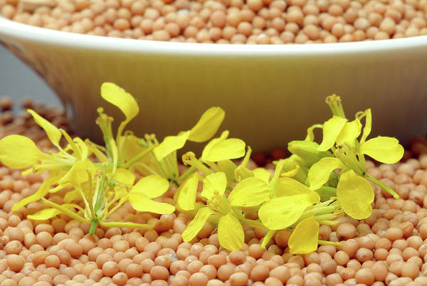 Mustard Photograph - White Mustard Seeds by Bildagentur-online/th Foto/science Photo Library