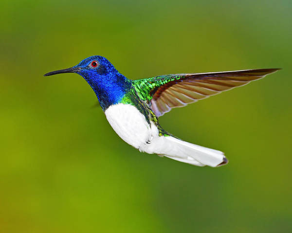 Photograph - White-necked Jacobin by Tony Beck