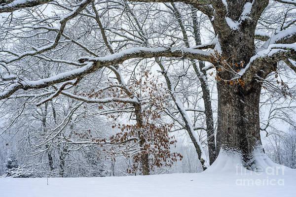 Photograph - White Oak Tree In Snow by Thomas R Fletcher