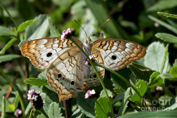Photograph - White Peacock Butterfly by Meg Rousher