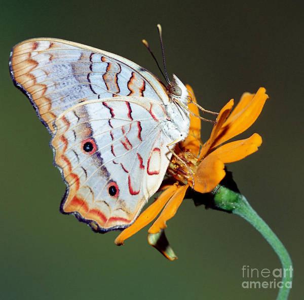 Pterygota Wall Art - Photograph - White Peacock Butterfly by Millard H. Sharp
