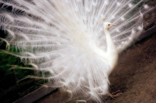 Coverts Photograph - White Peacock by Maria Mosolova/science Photo Library