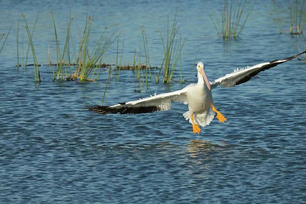 Bulrush Wall Art - Photograph - White Pelican Landing, Pelecanus by Maresa Pryor