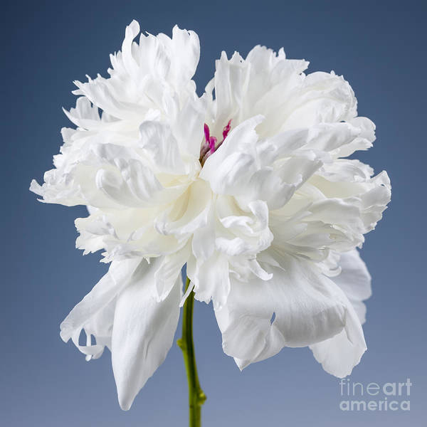 Flower Head Photograph - White Peony Flower by Elena Elisseeva