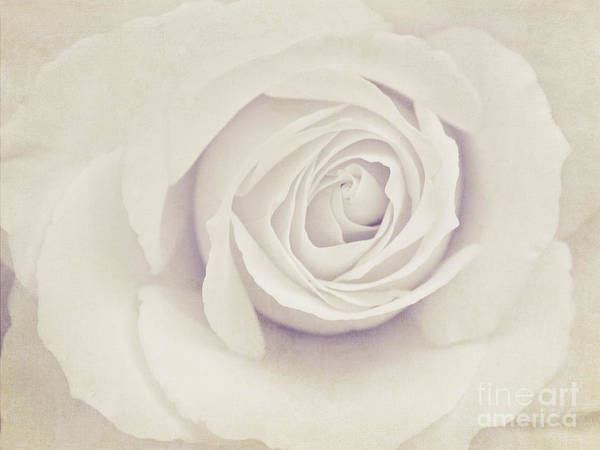 Wall Art - Photograph - White Rose by Diana Kraleva