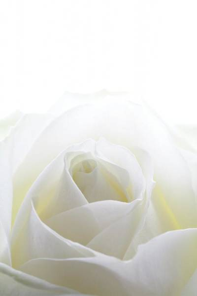Wedding Bouquet Photograph - White Rose (rosa Sp.) by Kate Jacobs/science Photo Library