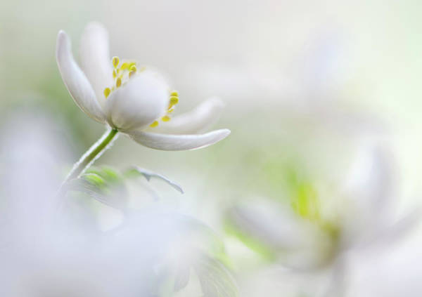 Tender Photograph - White Spring by Heidi Westum