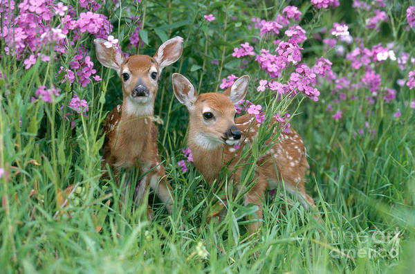 Photograph - White-tailed Deer Fawns by Alan Carey