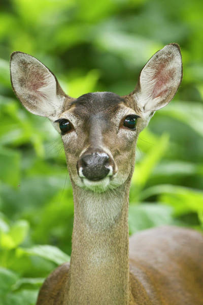 Fawn Photograph - White-tailed Deer Odocoileus by Danita Delimont
