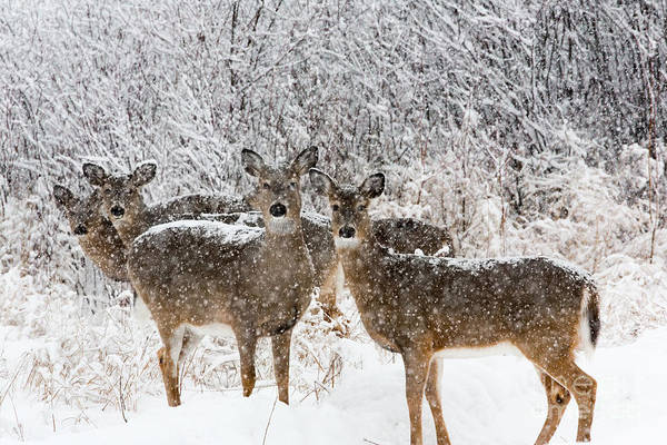 Photograph - White-tailed Deer  by Linda Freshwaters Arndt