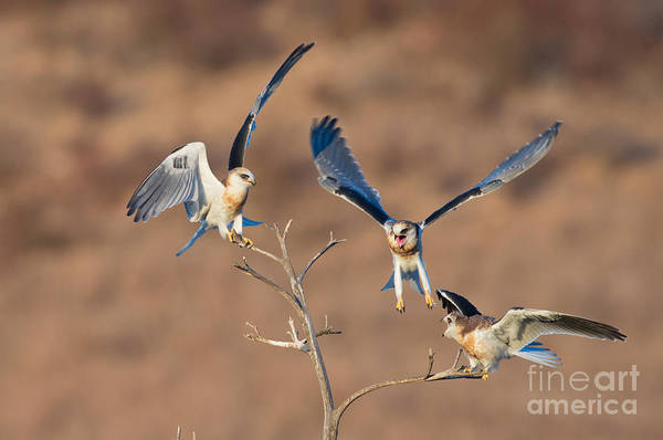 White-tailed Kite Photograph - White-tailed Kite Siblings by Anthony Mercieca