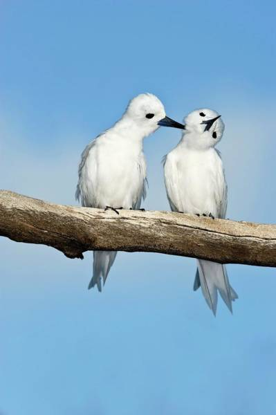 Wall Art - Photograph - White Terns Allogrooming by Tony Camacho/science Photo Library