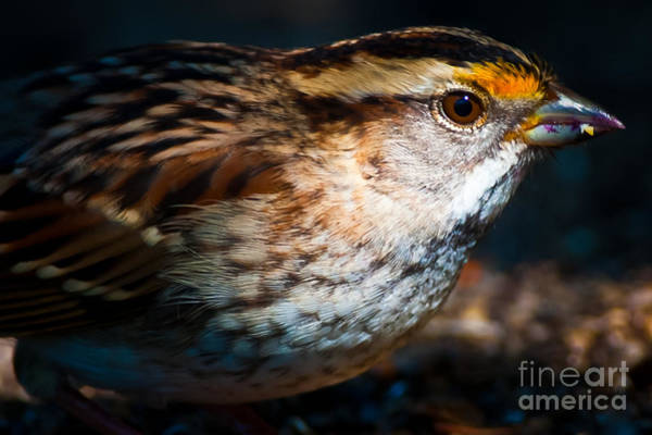 White-throated Sparrow Photograph - White-throated Sparrow Portrait  by Robert McAlpine