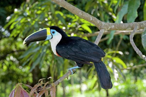 Wall Art - Photograph - White-throated Toucan by Tony Camacho/science Photo Library