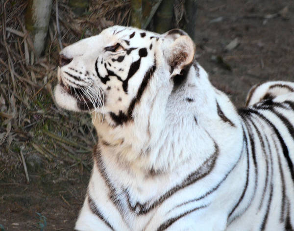 Photograph - White Tiger by Maggy Marsh