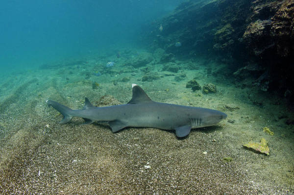 Triaenodon Obesus Photograph - White-tipped Reef Shark (triaenodon by Pete Oxford