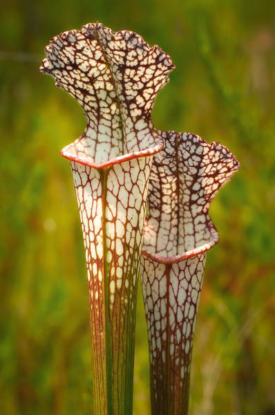 Wall Art - Photograph - White-topped Pitcher Plant by Rich Leighton
