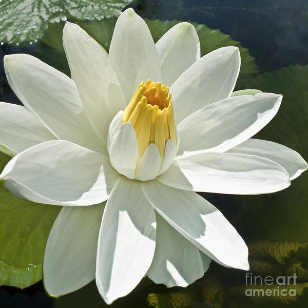 Water Lillies Photograph - White Water Lily - Nymphaea by Heiko Koehrer-Wagner