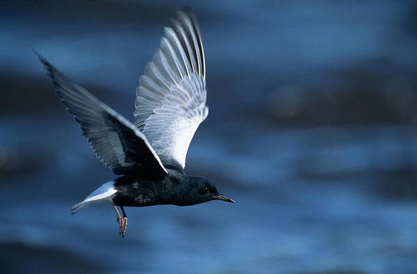 Wildlife Sanctuary Photograph - White-winged Tern by Tony Camacho/science Photo Library