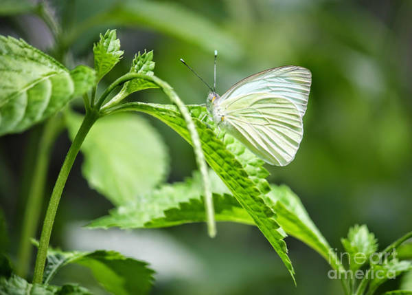 Photograph - White Wings by Carol Groenen