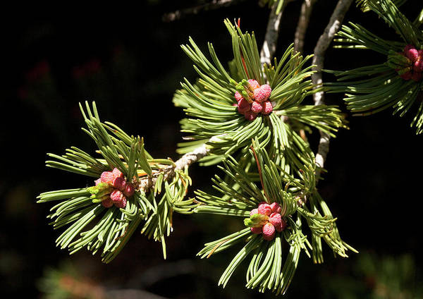 Pine Needle Photograph - Whitebark Pine (pinus Albicaulis) by Bob Gibbons/science Photo Library
