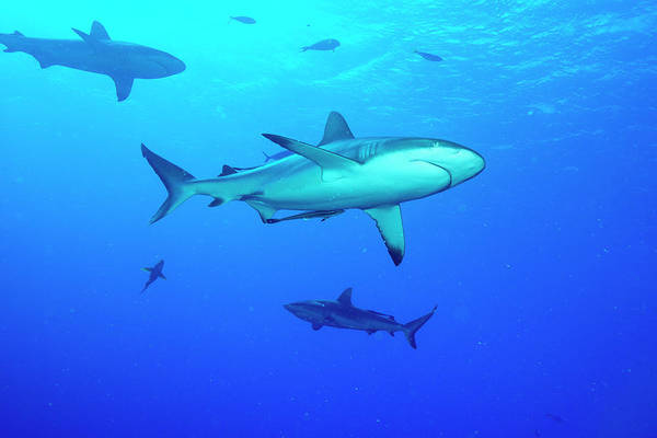 Triaenodon Obesus Photograph - Whitetip Reef Sharks Over A Reef by Louise Murray